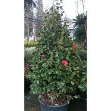 Cammelia japonica